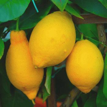 Limon Villa Franka